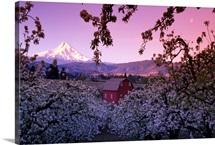 Flowering apple trees, distant barn and Mount Hood, sunrise, Oregon