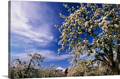 Flowering apple trees, distant Mount Hood, Oregon
