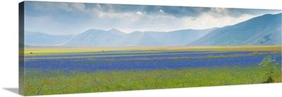 Flowering plants with mountain range, Piani di Castelluccio, Castelluccio, Umbria, Italy