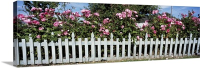 Flowering Roses behind a fence, Coupeville, Island County, Washington State
