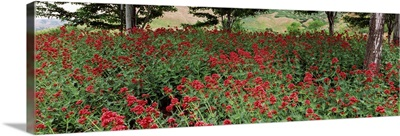 Flowers in a botanical garden, Red Butte Garden and Arboretum, Salt Lake City, Utah,