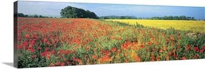 Flowers in a field, Bath, England
