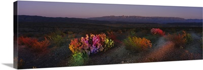 Flowers in a field, Big Bend National Park, Texas