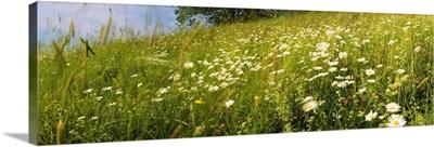 Flowers in a field, Lappeenranta, Finland