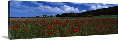 Flowers on a field, Staxton, North Yorkshire, England