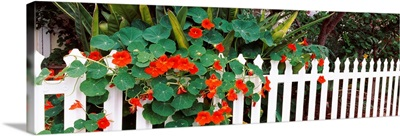 Flowers over a picket fence Naples Long Beach California