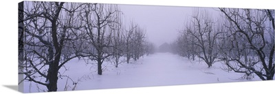 Fog over a snow covered pear orchard, Upper Hood River Valley, Hood River County, Oregon