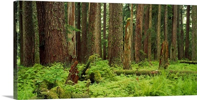 Forest floor Olympic National Park WA