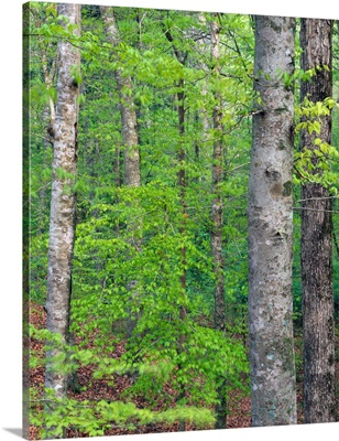 Forest with american beech trees, Kistachie National Forest, Louisiana