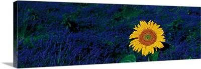 France, Provence, Suze La Rouse, sunflower in lavender field