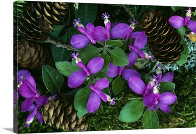 Fringed polygala flowers blooming around fallen pine cones, close up, Michigan