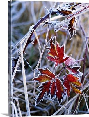 Frost On Autumn Color Evergreen Blackberry Bush Leaves