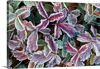 Frost On Autumn Color Foliage
