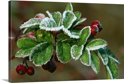 Frost On Multiflora Rose Plant With Berries