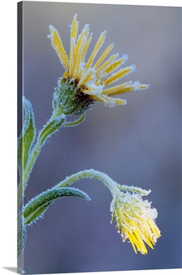Frost on sunflower blossoms, soft focus close up, Michigan