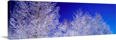 Frost on Trees (Utsukushigahara Plateau ) Nagano Japan