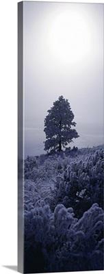 Frost Ponderosa Pine MT