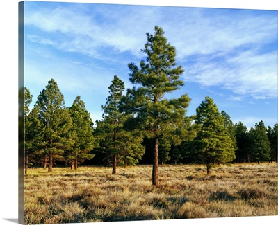Frosted underbrush in ponderosa pine tree forest, Kaibab National Forest, Arizona
