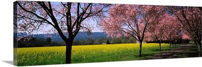 Fruit trees in a mustard field, Napa Valley, California,