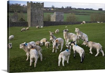 Gambolling Lambs, Kells Monastry, County Kilkenny, Ireland