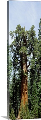 General Sherman Tree Sequoia National Park CA