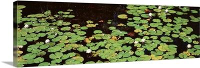 Georgia, Okefenokee National Wildlife Refuge, Suwannee Recreation Area, Water Lilies