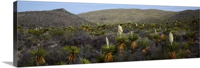 Giant Dagger Yuccas (Yucca carnerosana) in a field, Big Bend National Park, Texas,