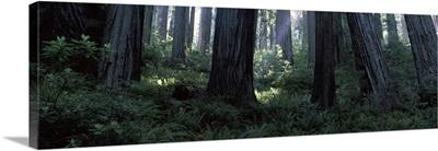 Giant Redwoods Redwood National Park CA