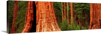 Giant sequoia trees in a forest, California