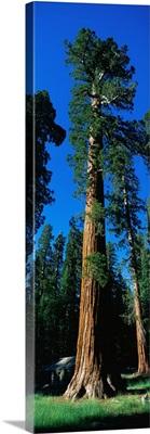 Giant Sequoia Yosemite National Park CA