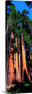 Giant Sequoias CA
