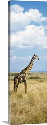 Giraffe Maasai Mara Kenya