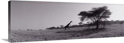 Giraffe on the plains Kenya Africa