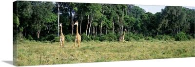 Giraffes Masai Mara National Park Kenya Africa