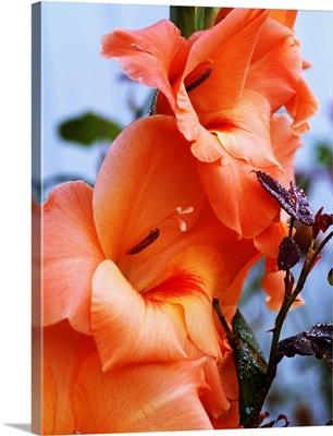 Gladiolus Flower Blossoms