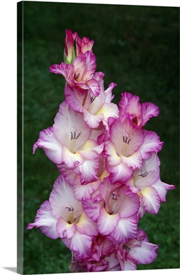 Gladiolus flowers blooming, close up, New York