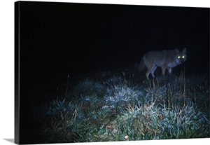 Glowing Eyes Of Eastern Coyote Hunting At Night Wall Art