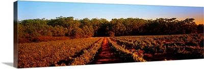 Grape vines in a vineyard, Leeuwin Estate, Margaret River, Western Australia, Australia