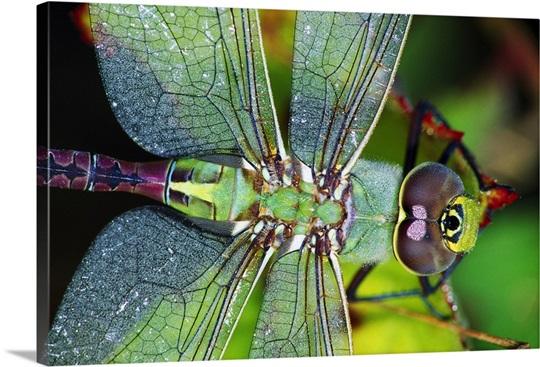 Green Darner Dragonfly Canvas