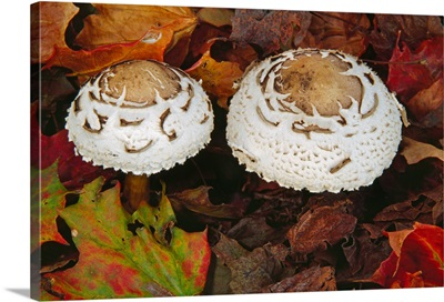 Green-spored lepiota mushrooms (Chlorophyllum molybdites) growing in leaf litter, autumn color, close up.