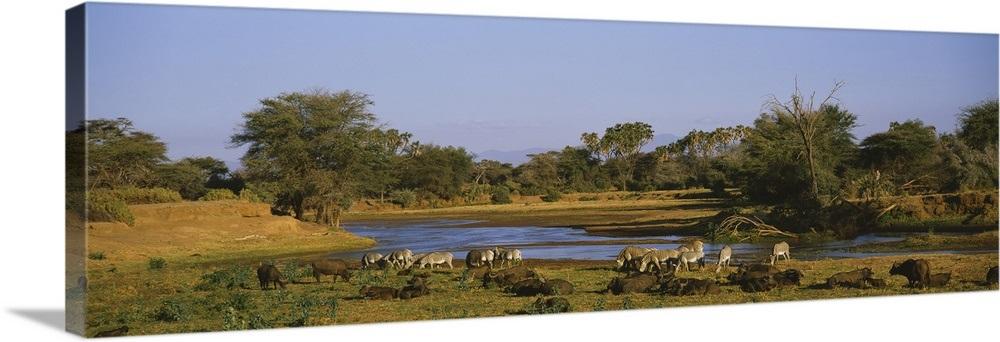 Greves Zebra Cape Buffalo Uaso Nyiro River Samburu Kenya