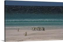 Group of Royal Penguins Falkland Island