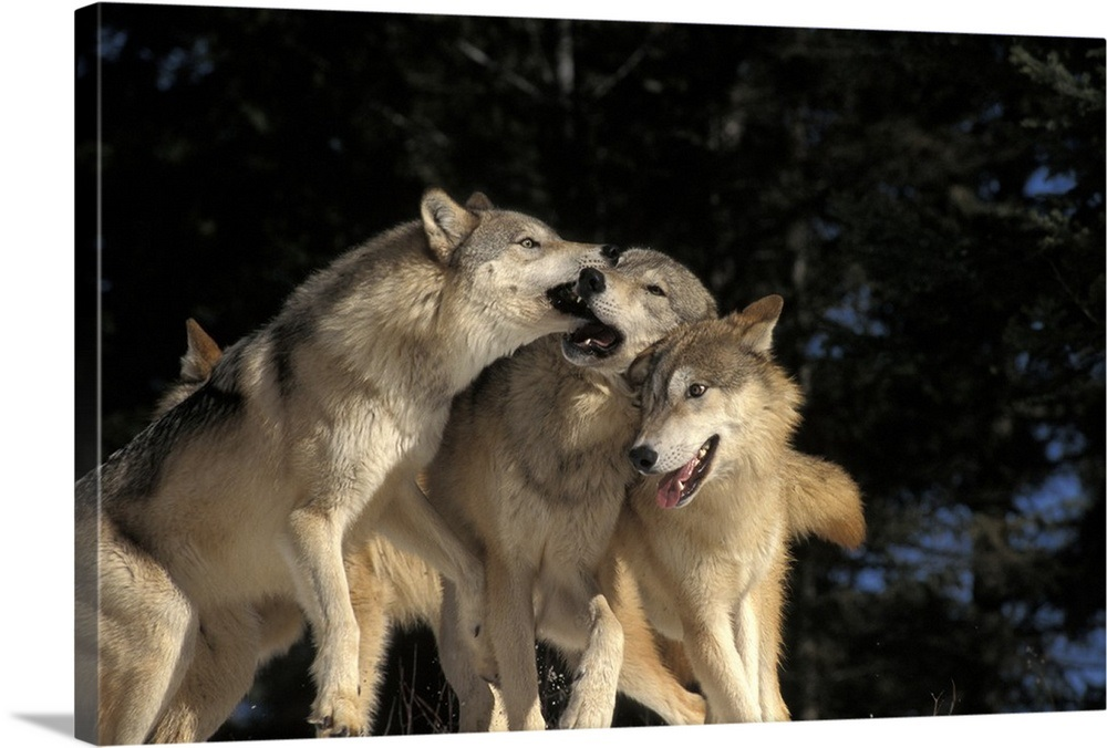 Group Of Wolves Playing In Canada Wall Art Canvas Prints