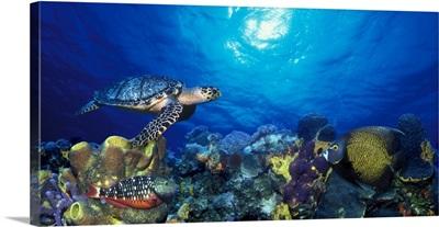 Hawksbill turtle (Eretmochelys Imbricata) and French angelfish (Pomacanthus paru) with Stoplight Parrotfish (Sparisoma viride)