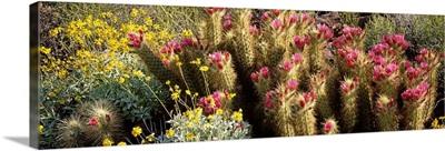 Hedgehog Cactus Brittlebush Organ Pipe Cactus National Park AZ