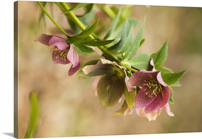 Hellebore flower (Helleborus torquatus) in bloom, close up, North Carolina