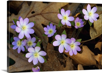 Hepatica flowers growing through fallen leaves, close up, Michigan