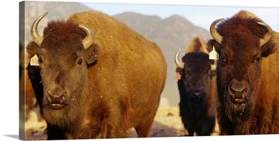Herd of Buffalo Taos NM