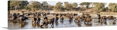 Herd of Cape Buffalos in river, Mala Mala Game Reserve, South Africa