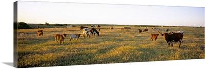 Herd of cattle grazing in a field, Texas Longhorn Cattle, Kansas